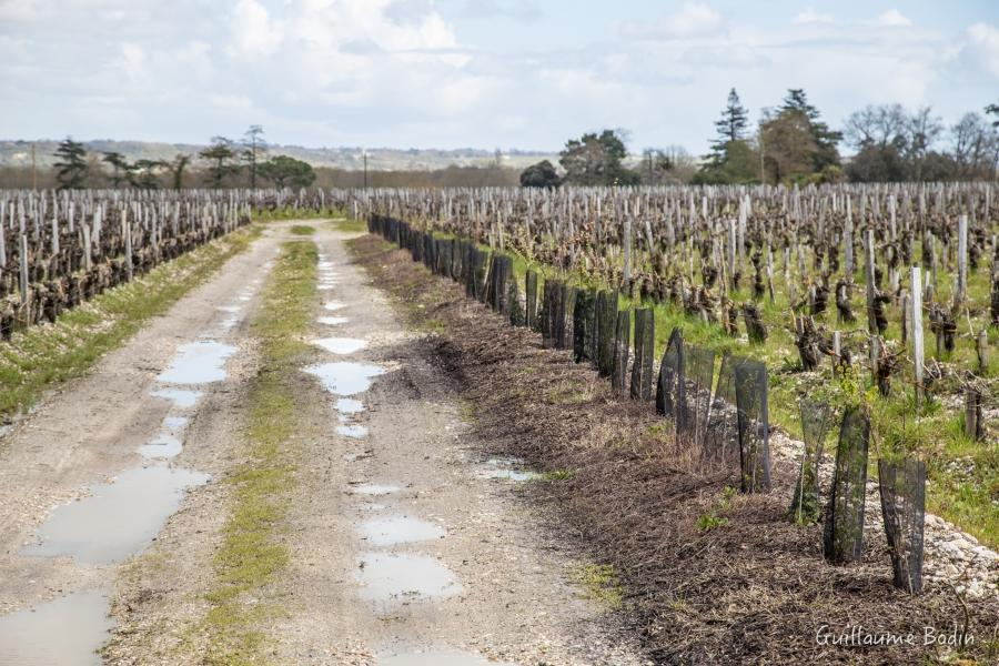 Relocation of hedges in the vineyard - Château Palmer
