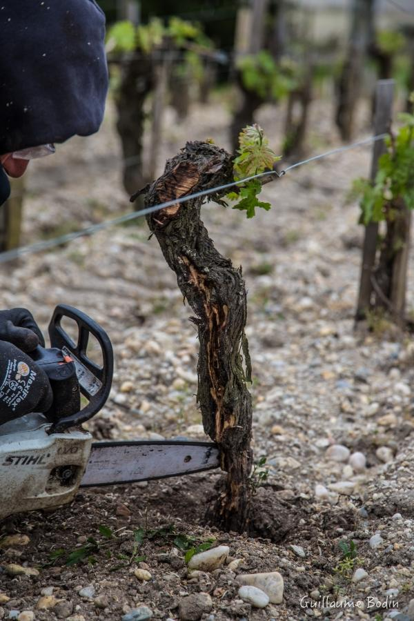 One of the two professional curetors. His job is to remove the tinder in the ceps with esca to dry the mushroom and the vine live a little longer. The results are very interesting !  - at Chateau Pontet-Canet.